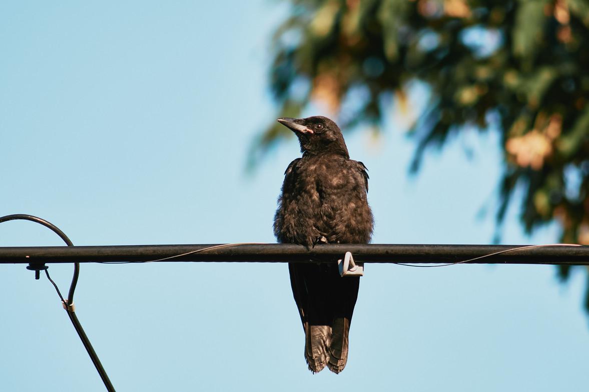 07 10 Crows _DSF3360.jpg