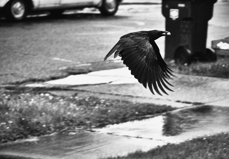 06 15 Rain Crows DSCF2629.jpg