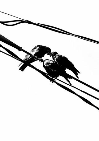 07 24 Crows _DSF4643.jpg