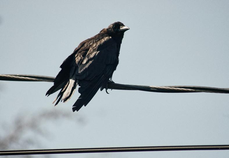 08 05 Crows DSC_0383.jpg