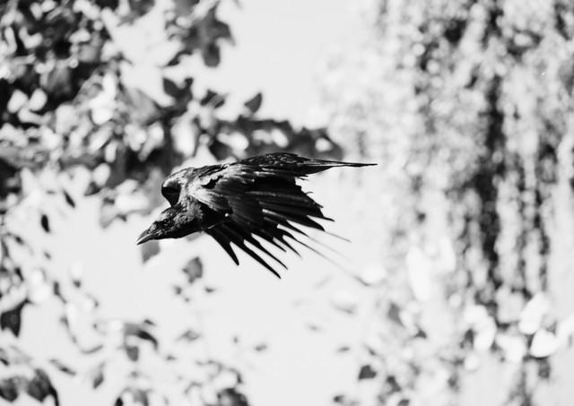 09 28 Ravens DSCF8969.jpg
