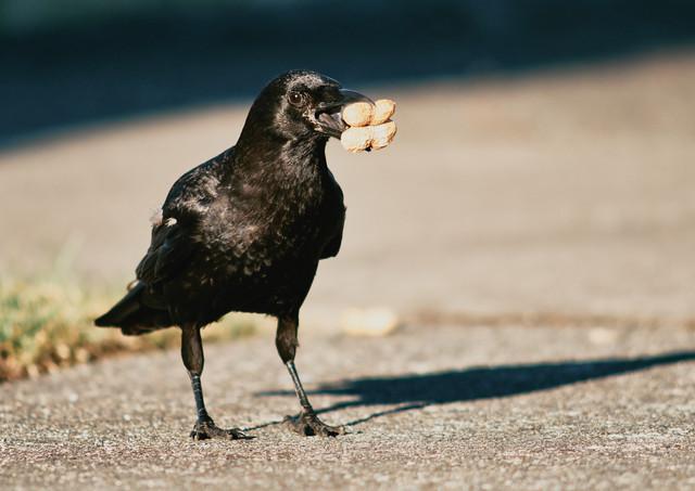 07 10 Crows _DSF3415.jpg