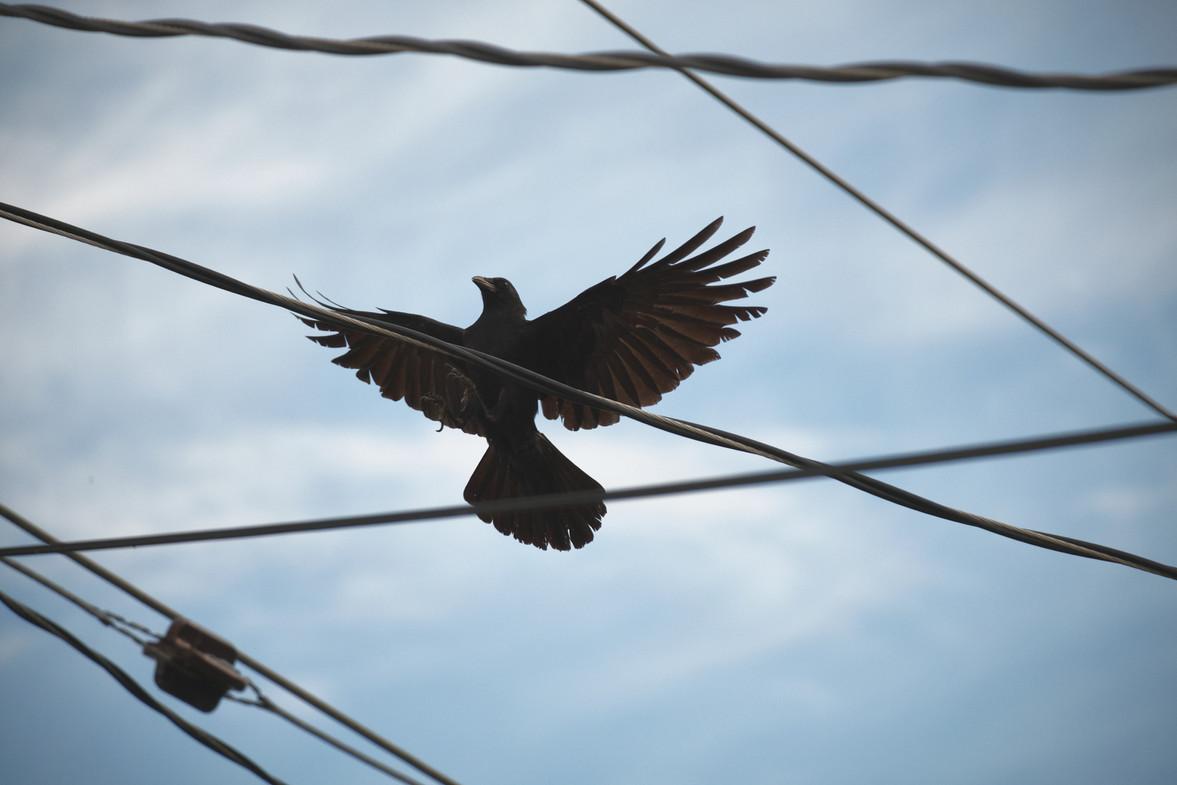06 12 Crow Jay Squirrels _DSF0544.jpg