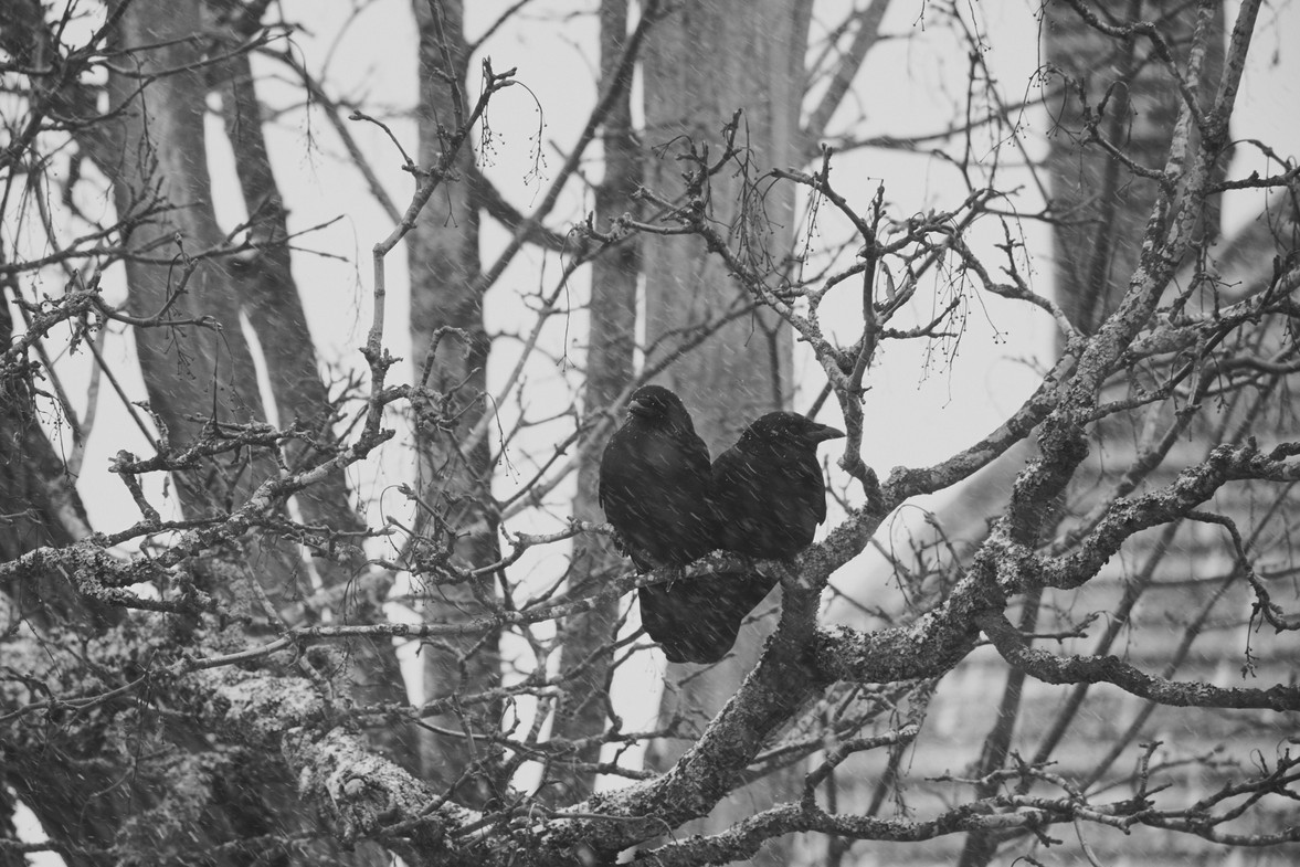 02 03 Snow Crows DSCF3156.jpg