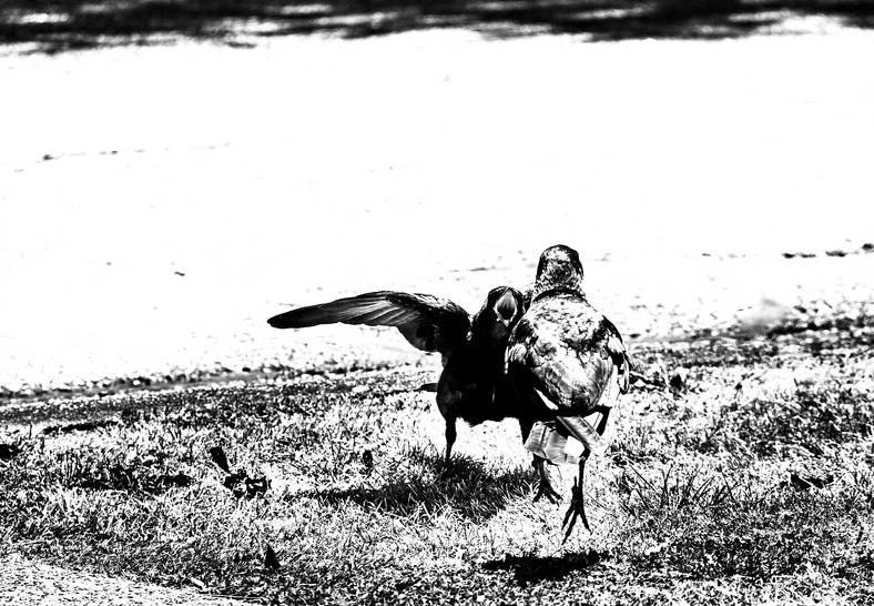 07 19 Crows _DSF4545.jpg