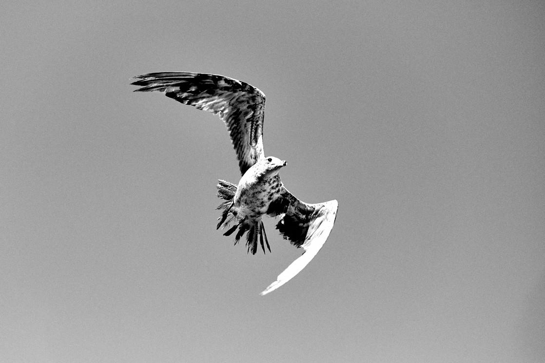 Bedraggled Gull
