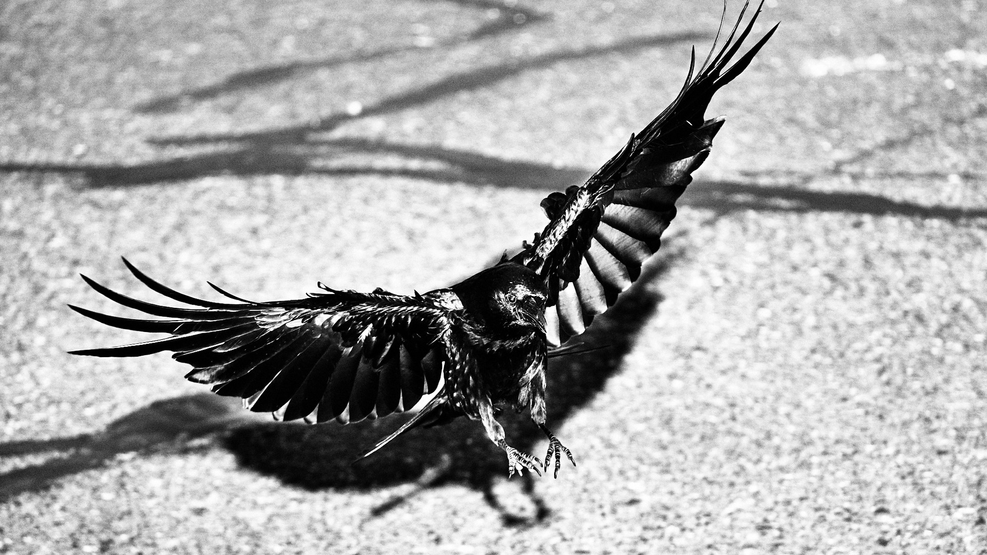 07 25 Crows _DSF4740-BW.jpg
