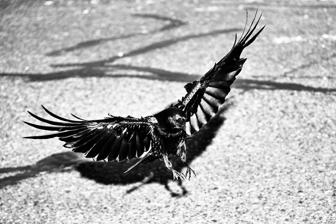 07 25 Crows _DSF4740-BW.jpg