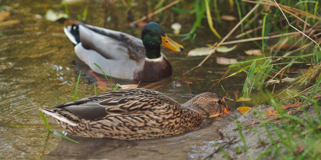 Duck Lunch Date