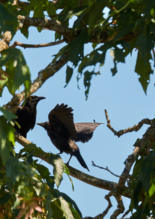 07 22 Crows DSCF3613.jpg