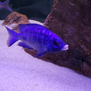Placidochromis Mdoka White lips