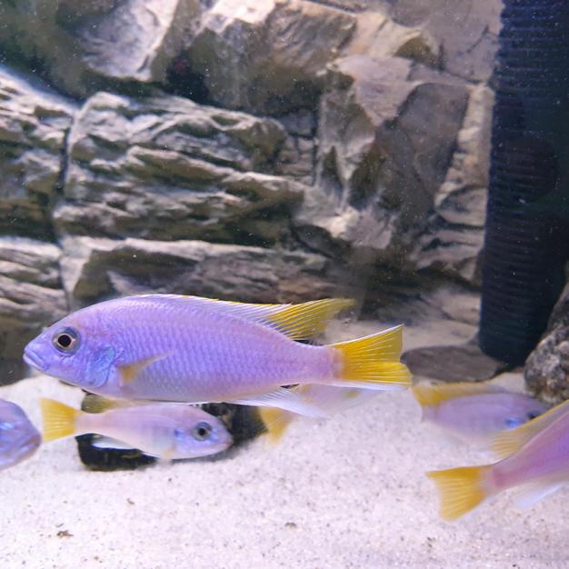 Pseudotropheus sp. Acei Luwala