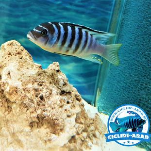 Metriaclima Fainzilberi Luwino Reef