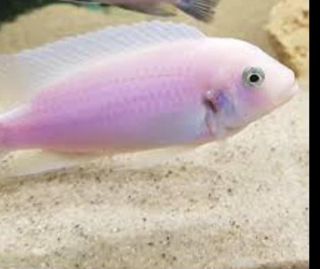 Metriaclima callainos pearl white