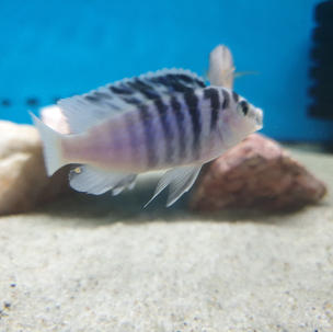 Labidochromis Chizumulae Chizumulu Island
