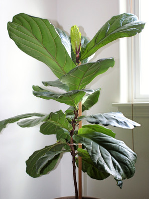 Fiddle Leaf Fig Is A Tall Houseplant
