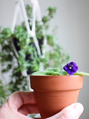 Magic Shadow African Violet