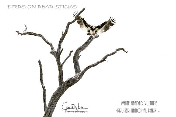 Birds on Dead Stick - White Headed Vulture