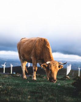 Vaca de San Andrés de Teixido