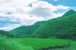 青空茶畑.jpg