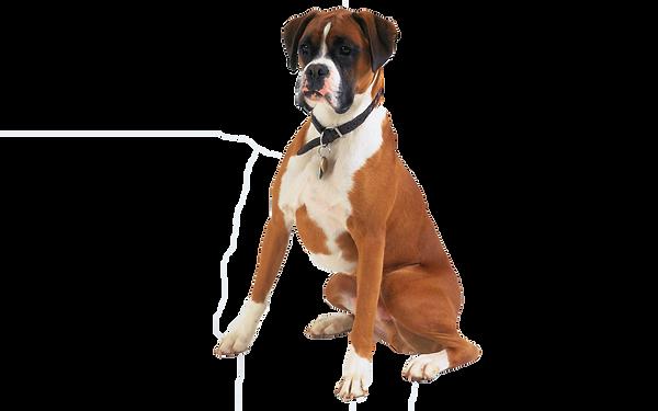 Boxer, Village Canin des Cévennes