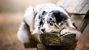 Berger Australien, Village Canin des Cévennes