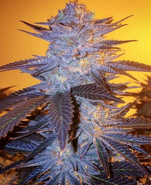 Orange Velvet Underground RBx (5 Seed)