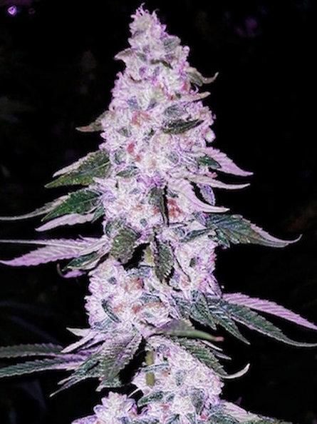 ETHOS HASH PLANT Bx1 (17 seed)