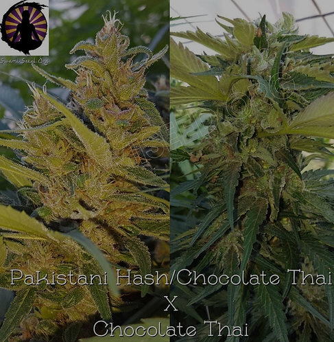 Pakistani Hash Plant /Chocolate Thai x Chocolate Thai