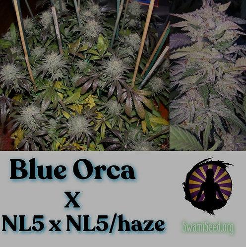 Blue Orca Haze