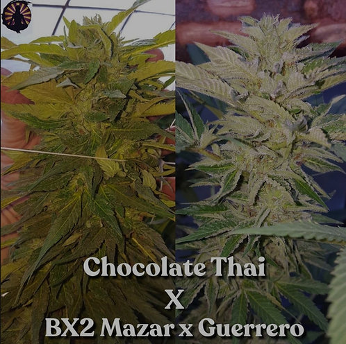 Chocolate Thai x Bx2 Mazar/Guerrero