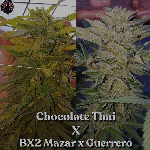 Chocolate Thai x Bx2 Mazar/Guerrero