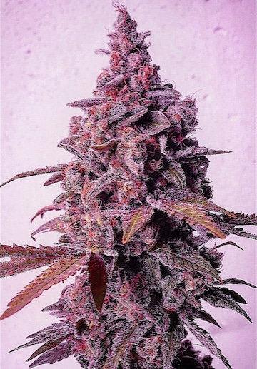 MANDARIN ZKITTLEZ R1 (5 Seed)