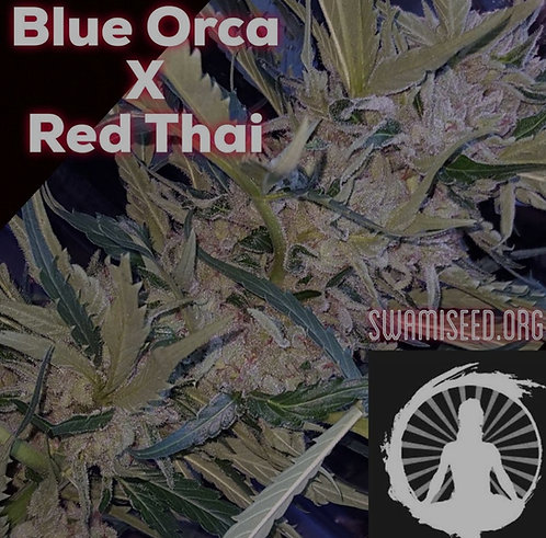 Blue Orca x Red Thai