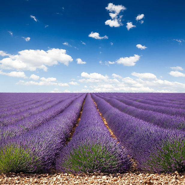 Lavender Field Mane License_Maio 2017 (4