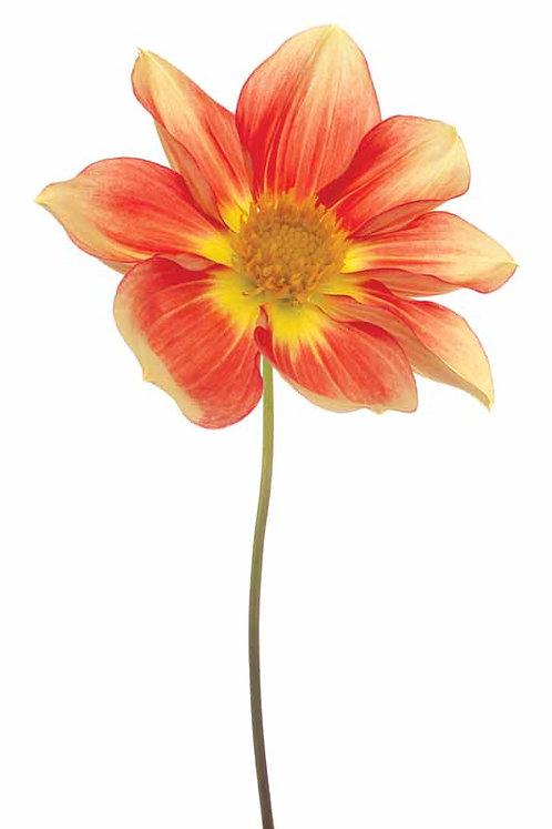 Red Yellow Dahlia - TMP-EAD0337-3248