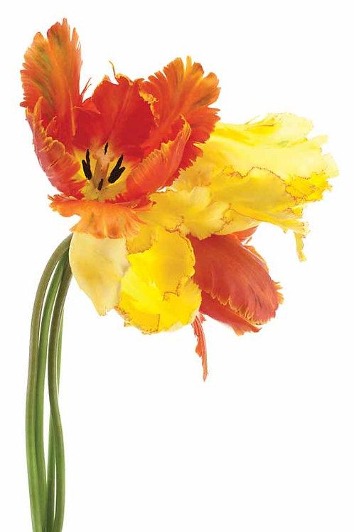 Orange Yellow Parrot Tulip - TMP-EAD0366-3248
