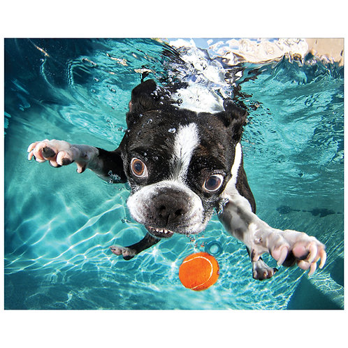 Boston Terrier - TMP-UD36-1620