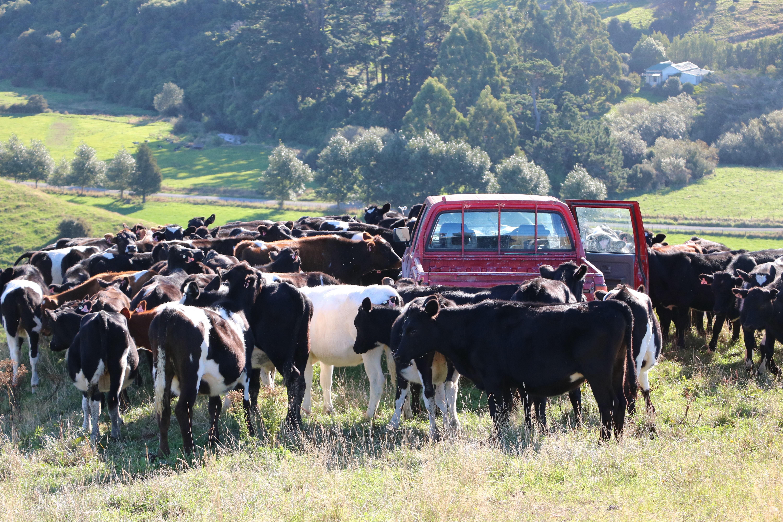 Millennium Farming - Dairy Cows Calves