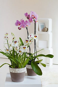 feng-shui-houseplants-orchid-potted.jpg