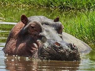 Hippo in the river