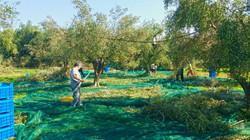 Harvesting on food-safe nets