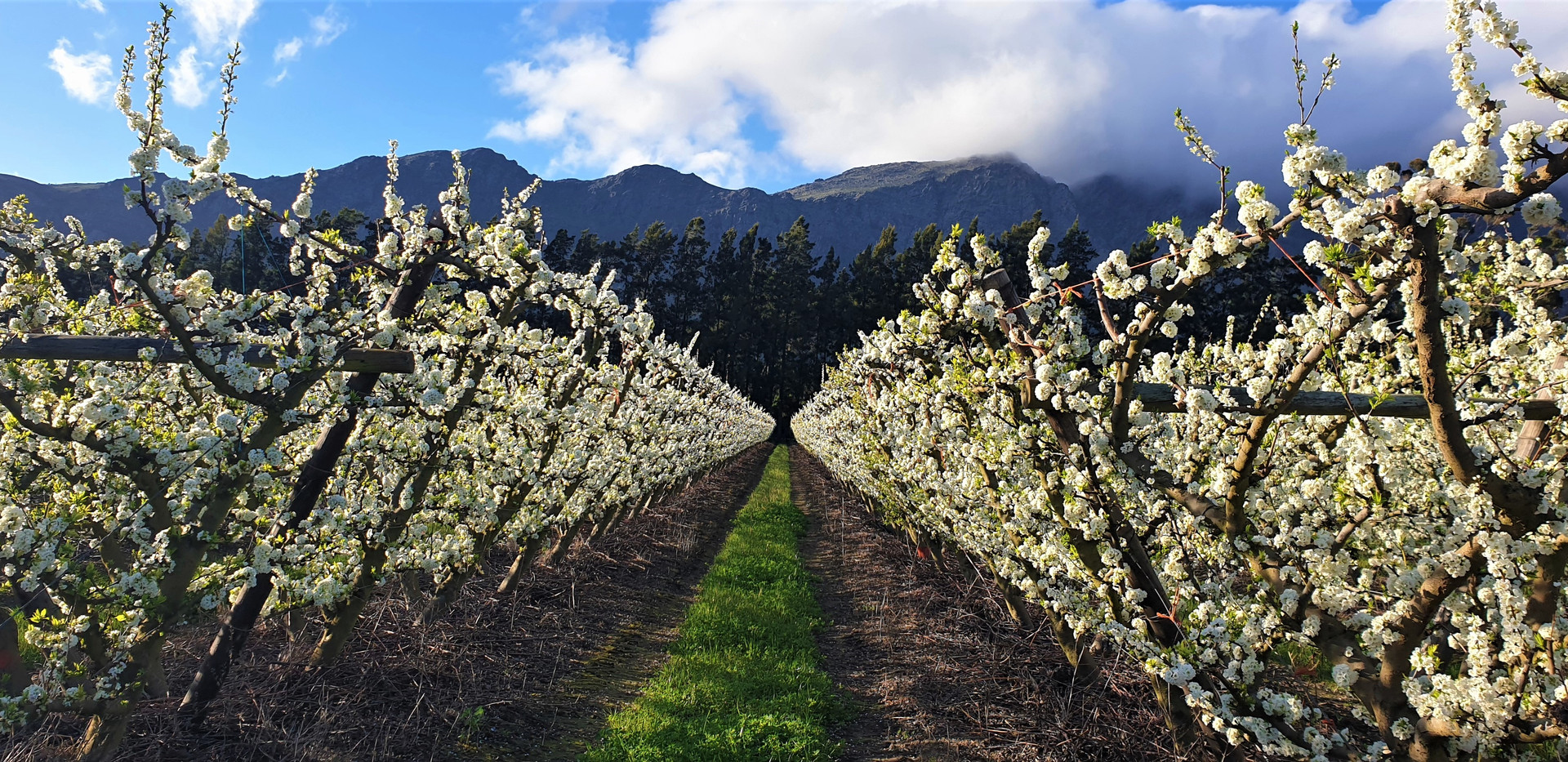 Plum Blossoms on Farm