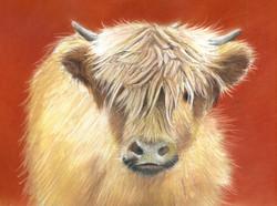 """Highland Calf at Spanham Farm"""
