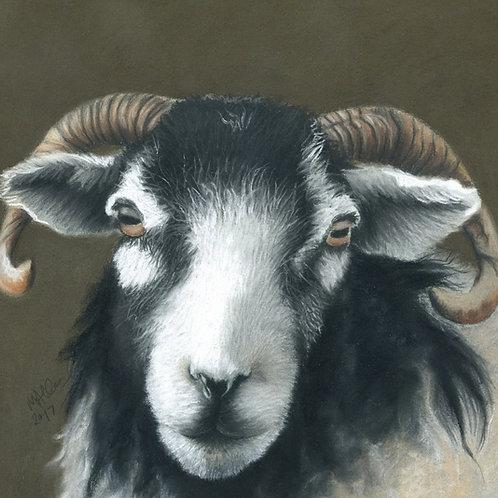 Swaledale Ewe at Spanham Farm- Limited Edition Print