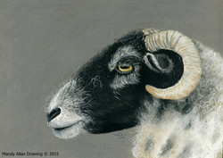 """Swaledale Ewe at Sow How Farm"""