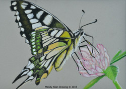 """""""Swallowtrail Butterfly"""""""