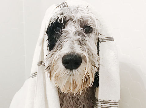 sheepadoodle-dog-getting-a-bath-EVTZF2T.