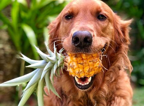 pineapple-picking-pup-UKZ2C7L.jpg