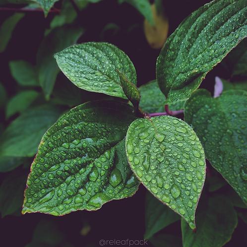 Organic Dried Peppermint